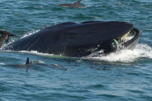 Une baleine avale un plongeur