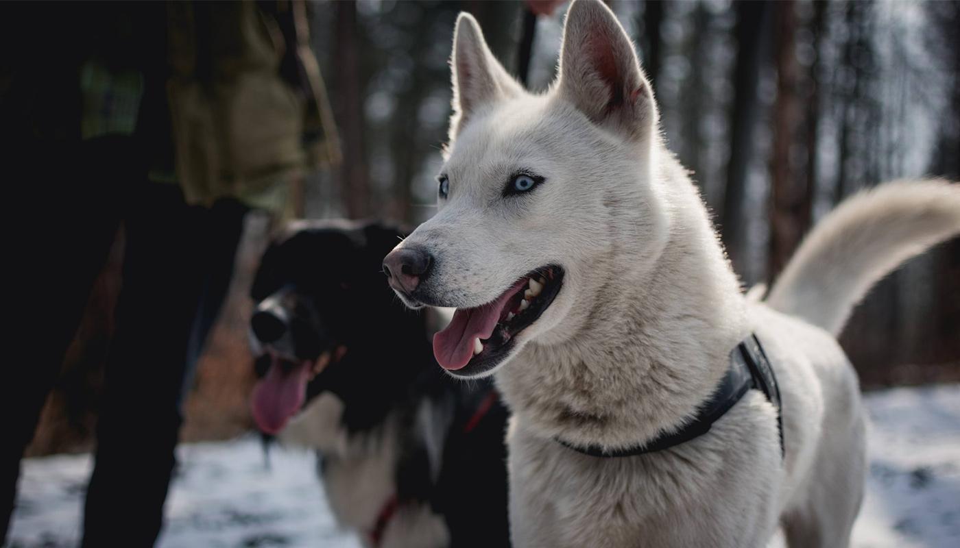 Deux chiens dans une forêt enneigée