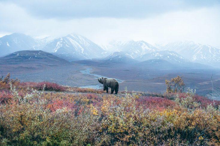 Un grizzly en Alaska