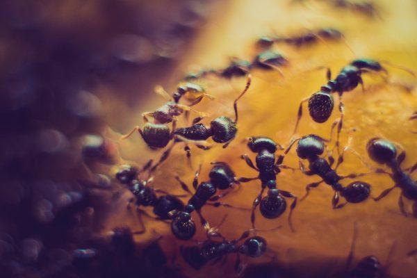 fourmis noires