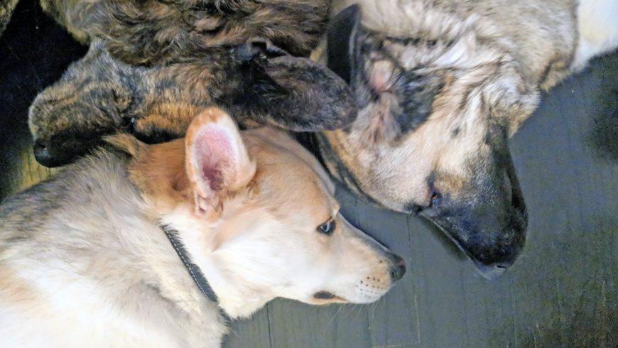 Gérer facilement trois gros chiens chez soi