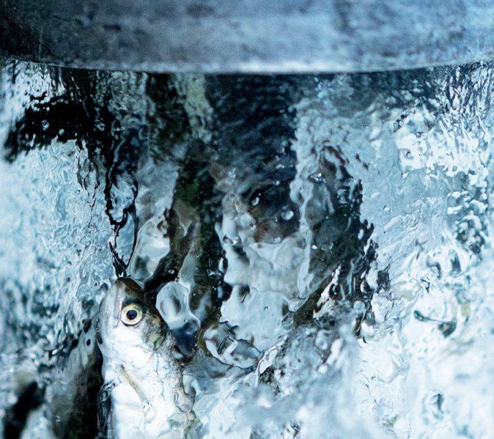 Artifishal, un documentaire sur la possible extinction des saumons et truites sauvages.