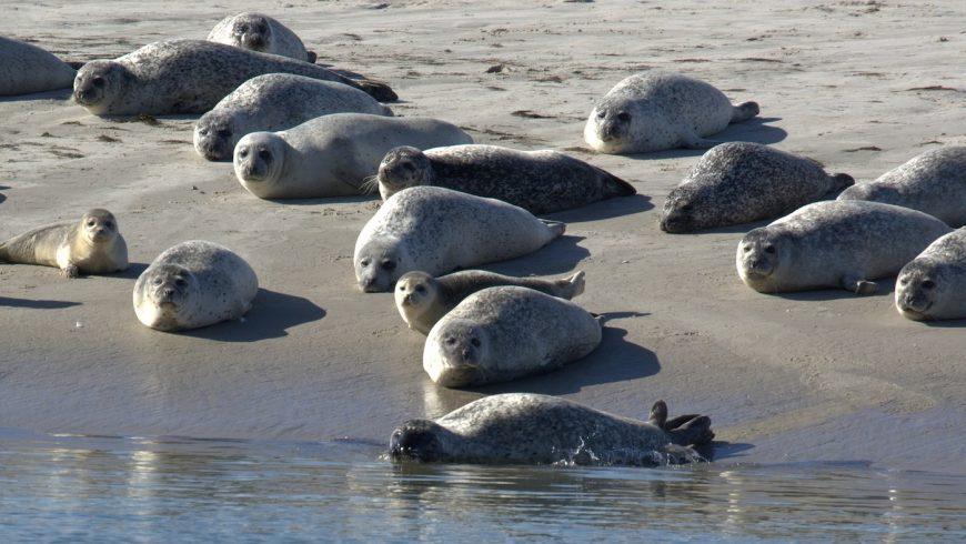 Colonie de phoque gris en mer du nord, un type de phoque que vous retrouverez en Baie de Somme.