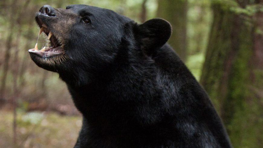 Se préparer à une rencontre avec un ours.