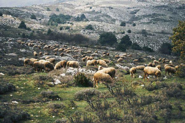 moutons transhumance montagne