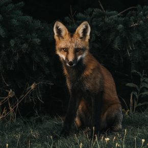 renard roux dans la forêt