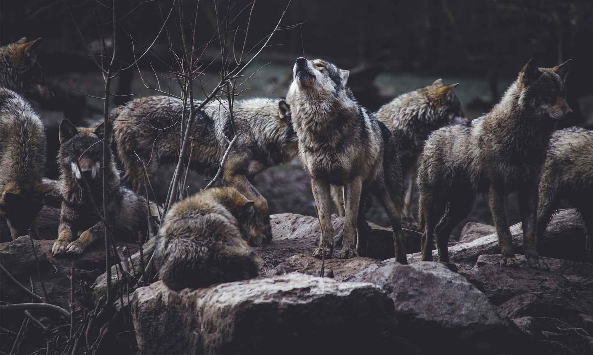 Face à un loup, que faire ?