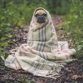 chien se protégeant du froid sous une couverture