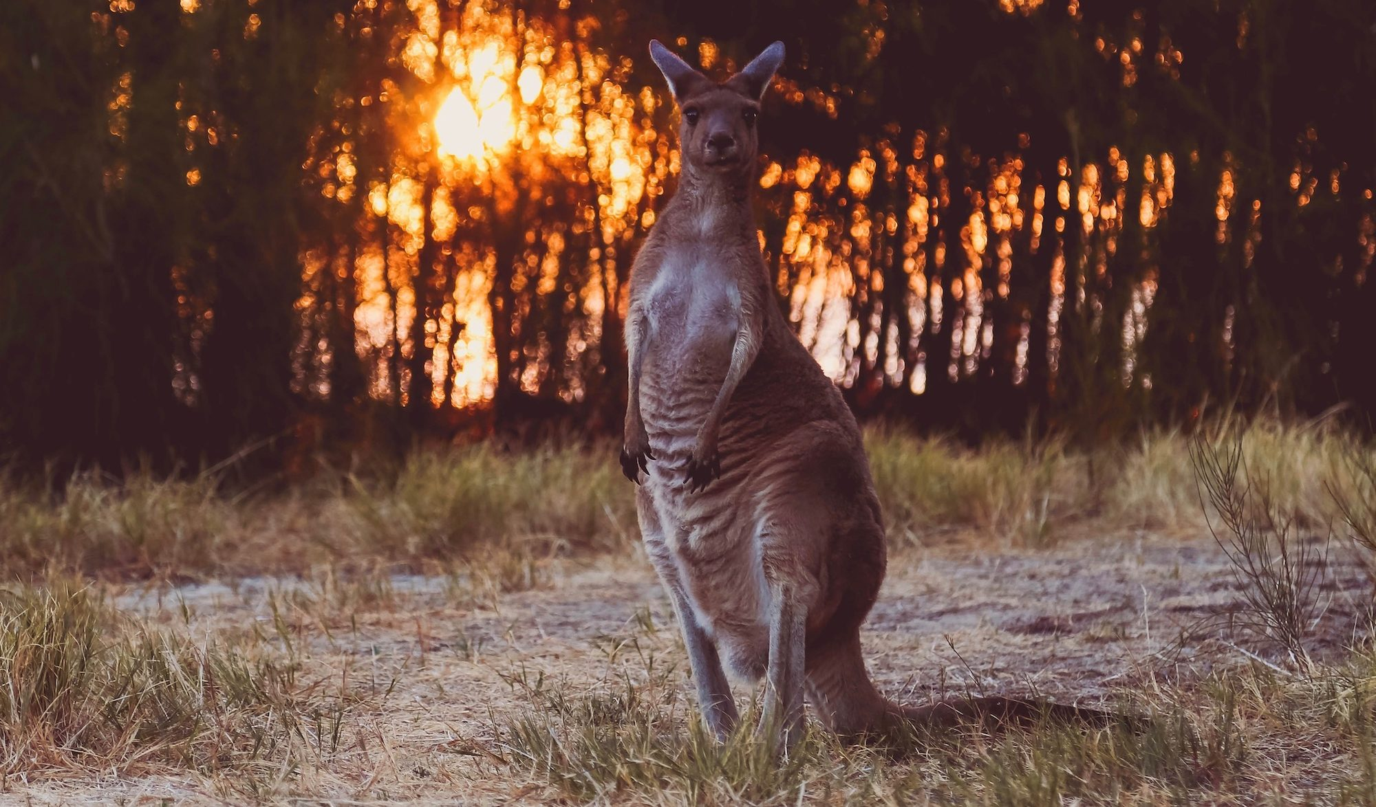 Kangourou et feu de forêt amanda-klamrowski-Unsplash