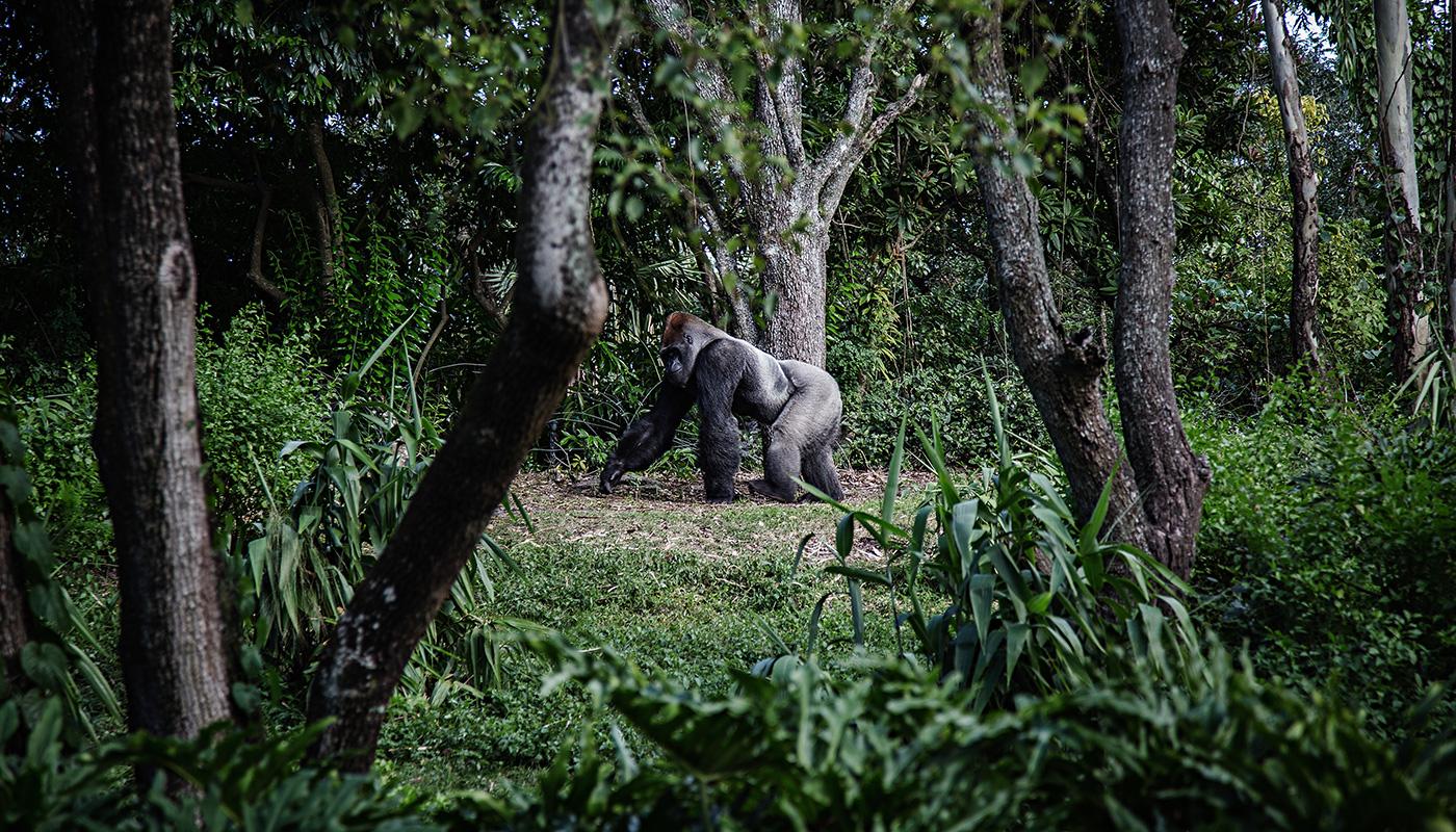 Ouganda gorille