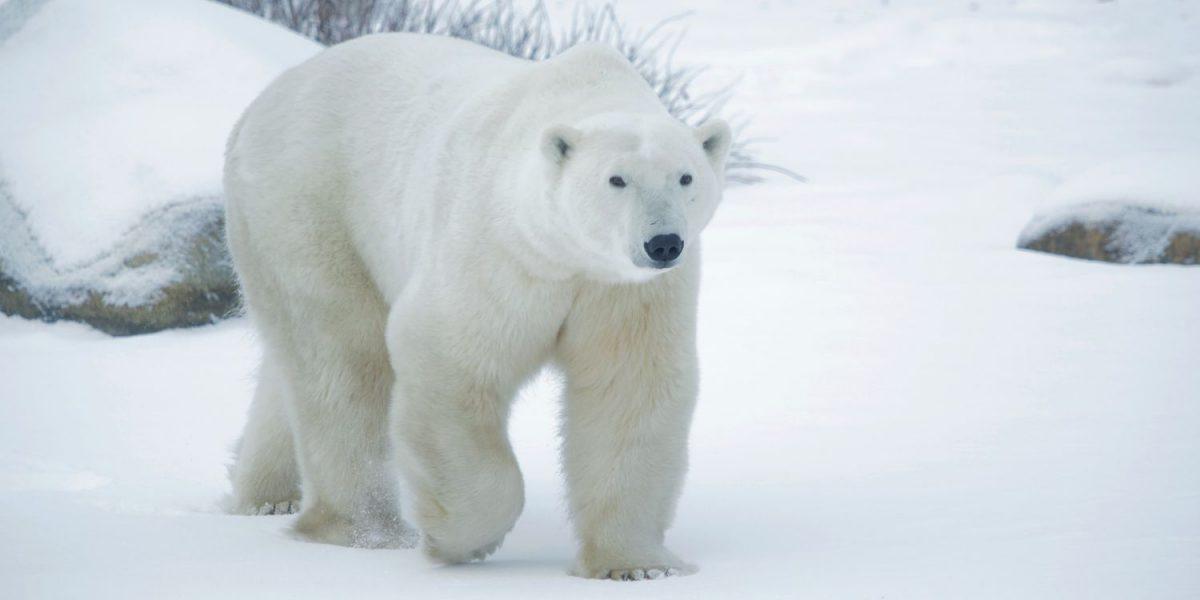Churchill, la capitale mondiale des ours polaire