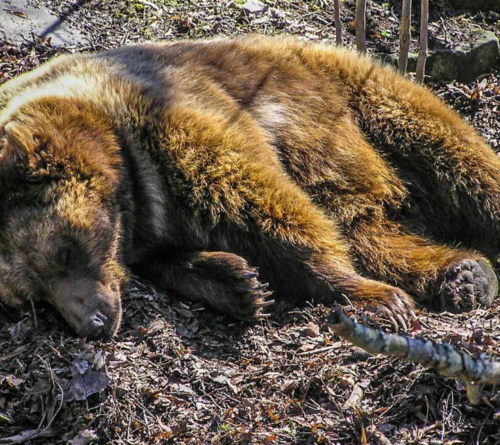 Ours des Pyrénées