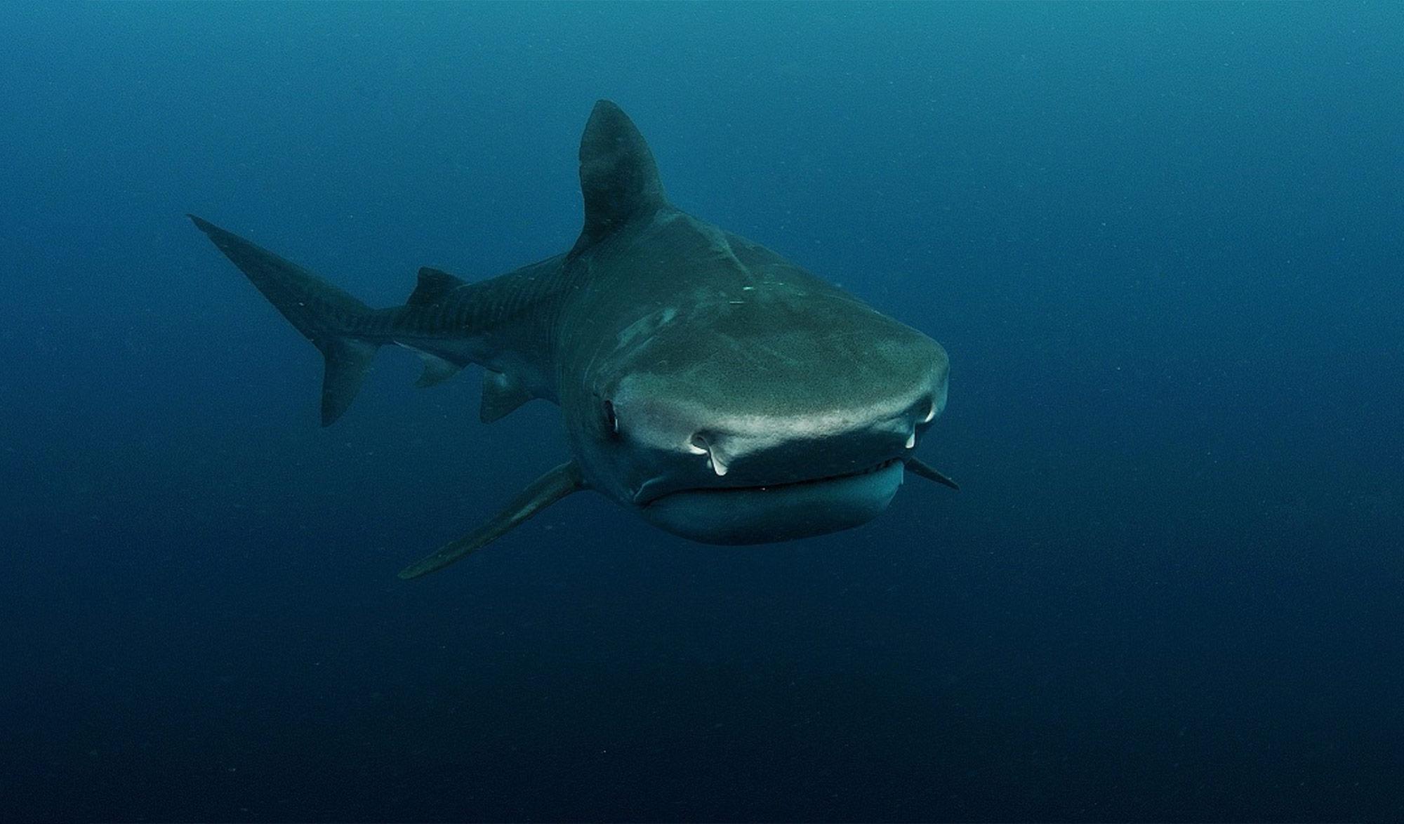 Requin Tigre