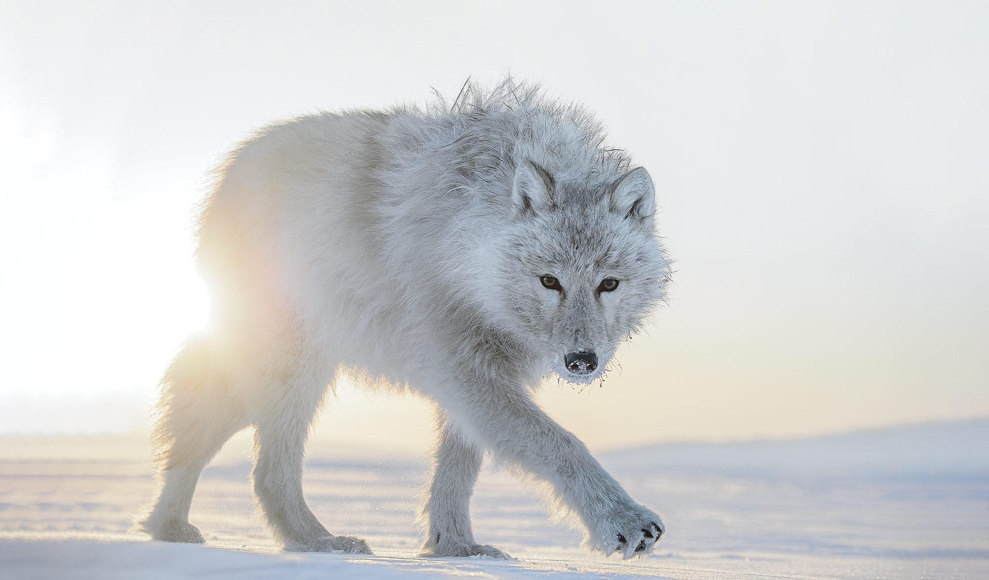 Vincent Munier, seul en Arctic