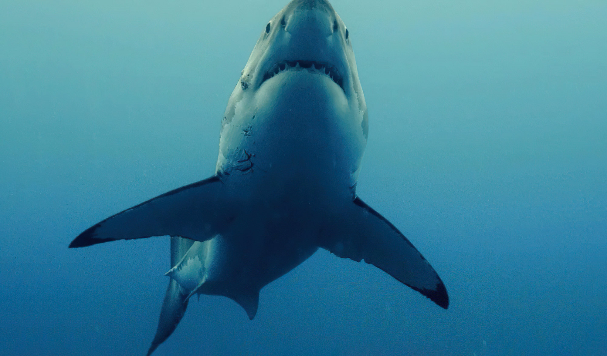 Shark bite club